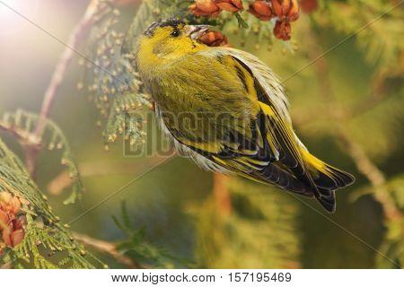 beautiful forest bird sits on a fir with sunny hotspot, forest birds, birds in forest birds on fir , winter, snow, Eurasian siskin