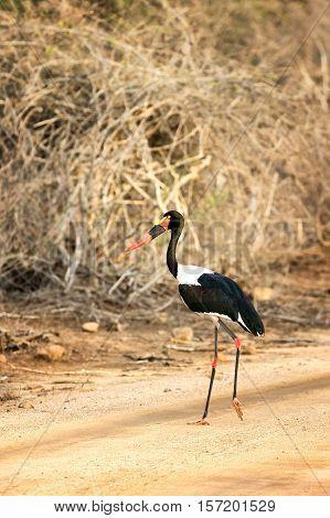 Saddle-billed stork, Ephippiorhynchus senegalensis, Kruger National PArk, South Africa.