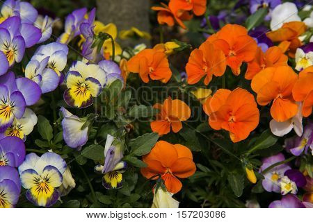 Photo of tricolor pansy, flower bed bloom in the garden