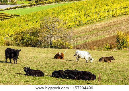 herd of cows in autumn, Lower Austria, Austria