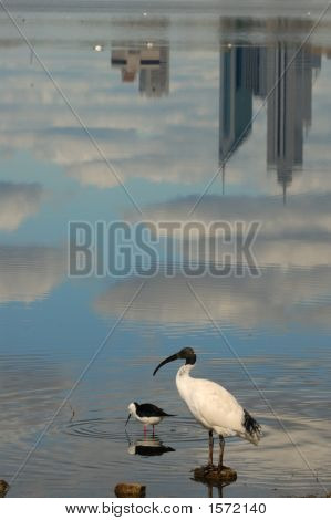 Waterbirds With City Reflection
