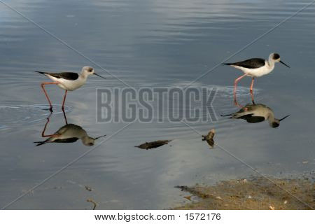 2 Black Winged Stilts