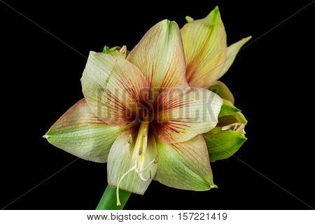 Close-up of green-red amaryllis flower. Zen in the art of flowers. Macro photography of nature.
