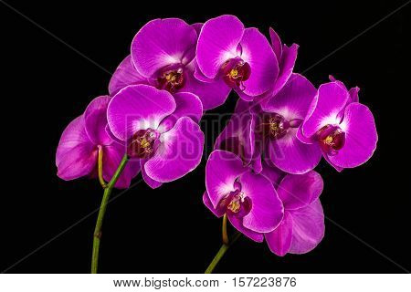 Close-up of pink orchid flowers. Zen in the art of flowers. Macro photography of nature.