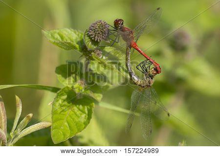 Ruddy Darter (Sympetrum sanguineum) Mating Wheel resting on a Water Mint (Mentha aquatica)