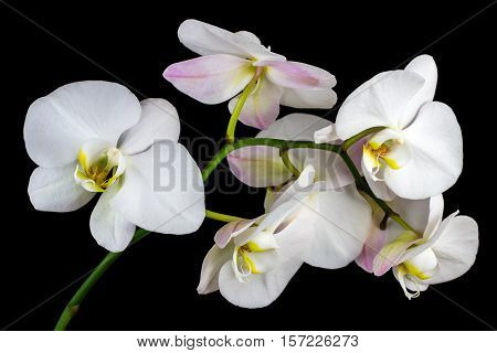 Close-up of white orchid flower. Zen in the art of flowers. Macro photography of nature.
