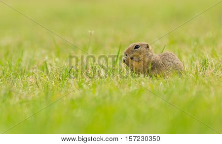 European Ground Squirrel on Meadow. Eating with Its Hands.