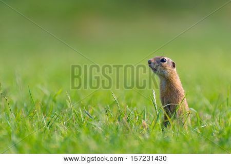 European Ground Squirrel Standing on Meadow. Close Up.