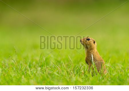 Ground Squirrel Standing on Field and Looking into The Distance