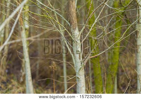 Trunks Of Small Deciduous Trees