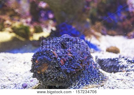 partially hide Scorpionfish on the coral reef view