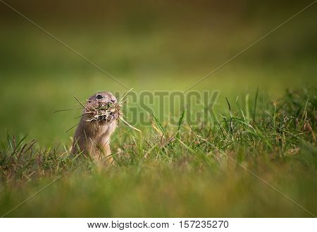 Funny Ground Squirrel with Mouth Full of Grass on The Meadow