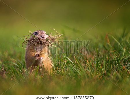 Ground Squirrel with Mustache. Ground Squirrel Standing with Mouth Full of Grass