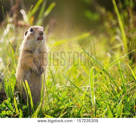 Funny Ground Squirrel on Meadow with Sticking Tongue