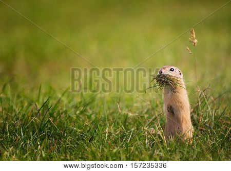 Adorable Ground Squirrel Standing on Field with Mouth Full of Grass