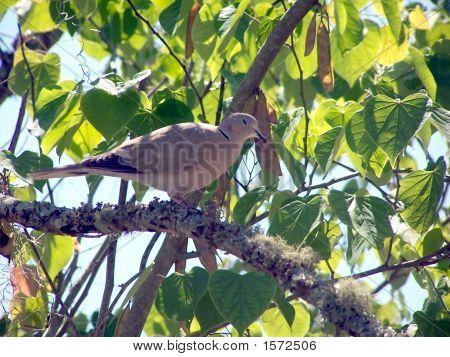 Eurasian Collared Bird2