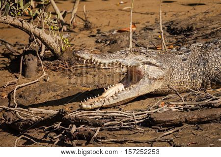 saltwater crocodile is the largest of all living reptiles as well as the largest terrestrial and riparian predator in the world.