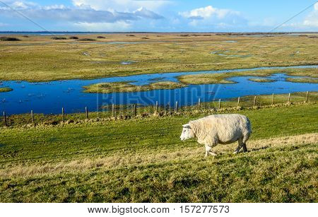 One sheep walking lonely along a fence next to a flooded nature reserve in the Netherlands. It's a sunny day in the end of the winter season.