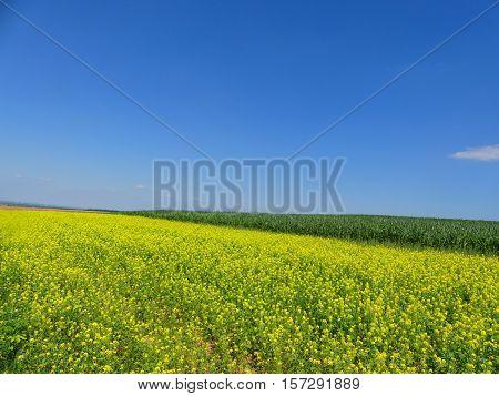 It is a sunny day. The rape field looks nice.