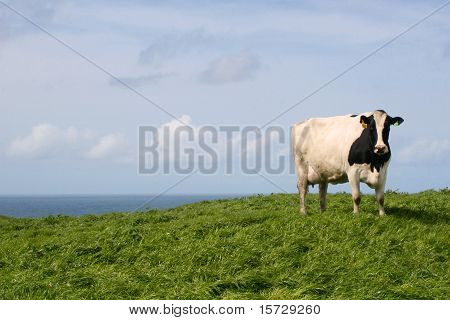 Cow grazing on western coastline