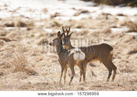 romantic couple of roe deers in spring