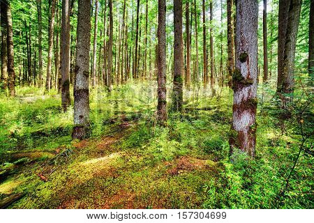 Rays Of Sunlight Through Tall Trees Of Evergreen Primeval Forest