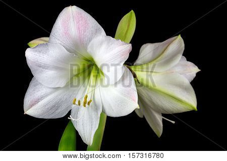 Close-up of white amaryllis flower. Zen in the art of flowers. Macro photography of nature.