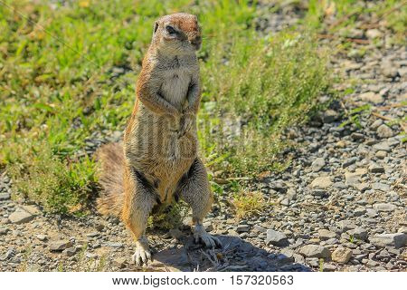 African squirrel standing on the ground in South Africa. Front view.