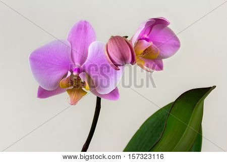 Close-up of pastel orchid flower. Zen in the art of flowers. Macro photography of nature.