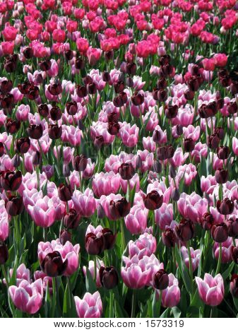 Filelds Of Tulips