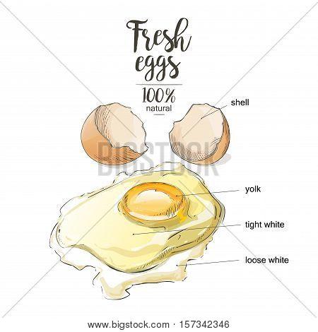 Egg a cracked egg with an egg shell, egg yolk and egg white.