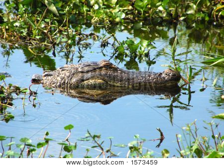 GATOR IN BACKWATER ON LOCAL LAKE