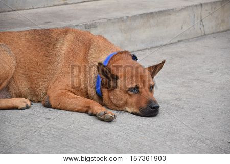 Close-up of a brown dog with blue collar resting on the street