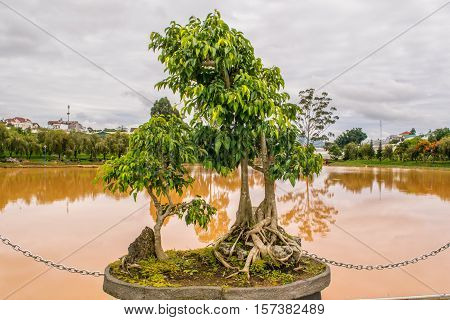 Deciduous bonsai tree near a pond in flowerbed at park of flowers in Dalat Vietnam