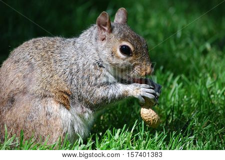 Squirrel devouring a peanut in grassy area.