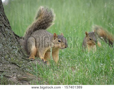Cute pair of squirrels playing near a tree.