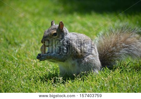 Squirrel with a peanut in lush green grassy area.