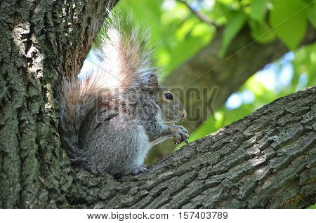 Squirrel sitting in a tree perch hollding a nut.