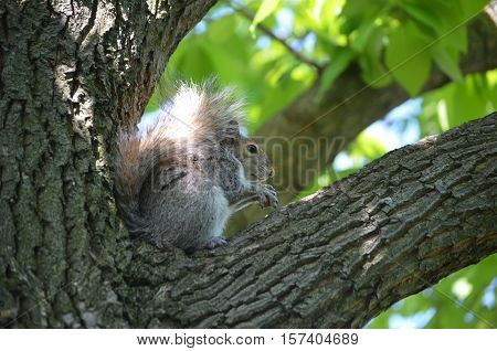 Gorgeous squirrel sitting in the crook of a tree