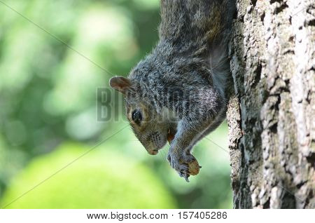 Cute grey squirrel running down a tree in nature.