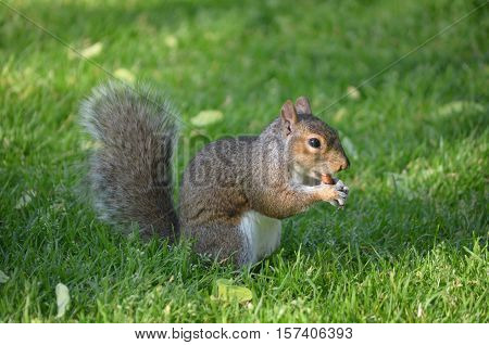Cute squirrel eating a nut in thick green grass.