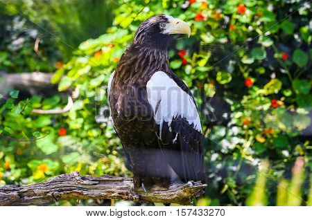 SAN DIEGO, USA - MAY 29, 2015: Stellers sea eagle sitting on the branch of a tree in the San Diego Zoo.