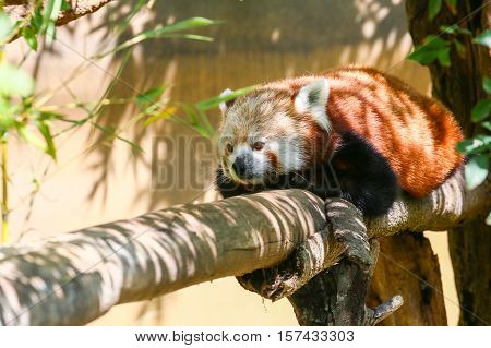 SAN DIEGO, USA - MAY 29, 2015: Red panda taking a rest on the branch of a tree in the San Diego Zoo.