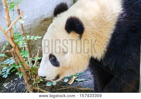 SAN DIEGO, USA - MAY 29, 2015: Close-up of a giant panda in the San Diego Zoo.