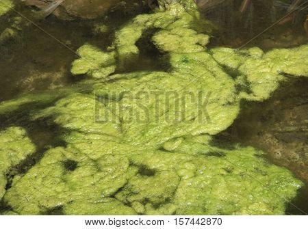 Green Algae Cluster