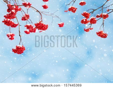 The red snow-covered mountain ash on background of the cloudy sky