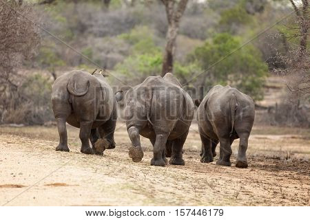 A trio of rhinoceroses seen from behind. Two oxpeckers are perched on the back of the left rhino. Kruger National park, South Africa.