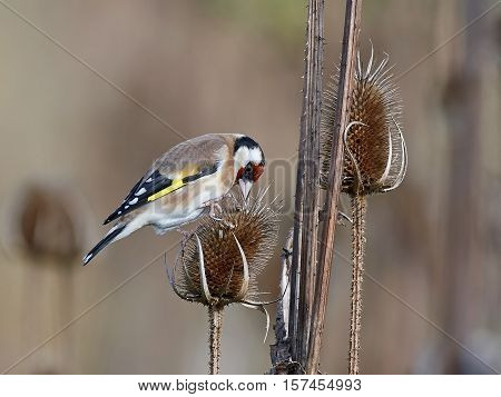 European goldfinch sitting on a plant with vegetation in the background