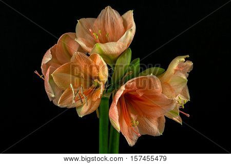 Close-up of green-apricot amaryllis flower. Zen in the art of flowers. Macro photography of nature.