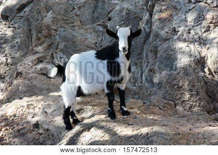 The little black and white goat standing on rocks and looking at us